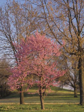adam-jones-eastern-redbud-tree-cercis-canadensis-in-full-bloom-eastern-north-america