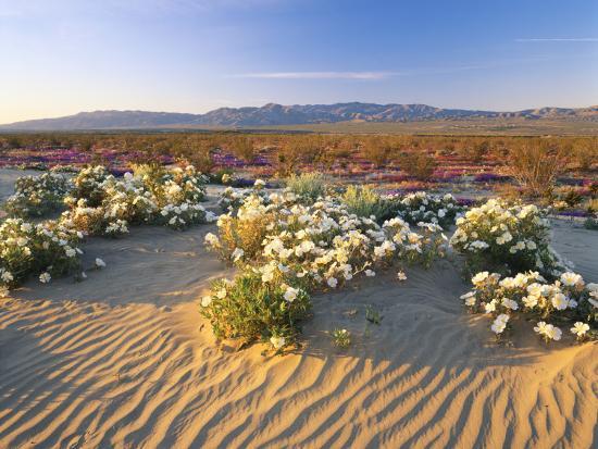 adam-jones-flowers-growing-on-desert-anza-borrego-desert-state-park-california-usa