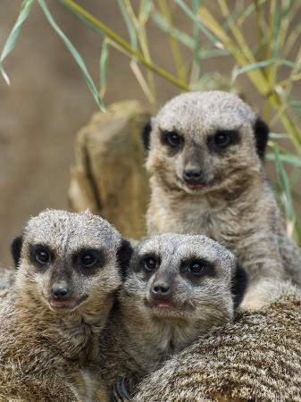 adam-jones-group-of-meerkats-suricata-suricatta