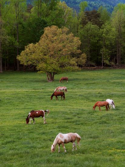 horses grazing in meadow cades cove great smoky mountains national park tennessee usa. Black Bedroom Furniture Sets. Home Design Ideas