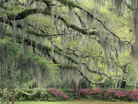 adam-jones-live-oak-tree-draped-with-spanish-moss-savannah-georgia-usa