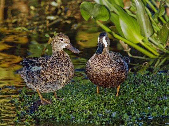 adam-jones-male-and-female-blue-winged-teal-anas-discors-wakodahatcheee-wetlands-delray-beach-florida