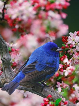 adam-jones-male-indigo-bunting-among-crabapple-blossoms