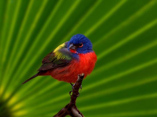 adam-jones-male-painted-bunting-everglades-national-park-florida-usa
