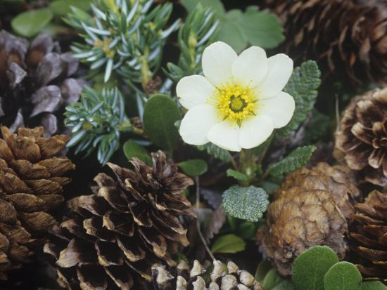 adam-jones-mountain-avens-dryas-octopetala-an-arctic-and-alpine-tundra-wildflower-north-america