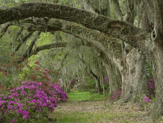adam-jones-oak-trees-above-azaleas-in-bloom-magnolia-plantation-near-charleston-south-carolina-usa