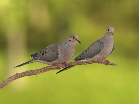 adam-jones-pair-of-mourning-doves-zenaida-macroura-north-america