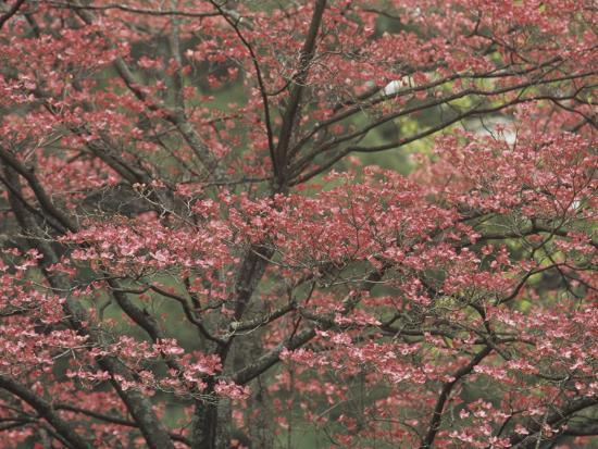 adam-jones-pink-dogwood-tree-in-full-bloom-cornus-florida-rubra-lexington-kentucky-usa