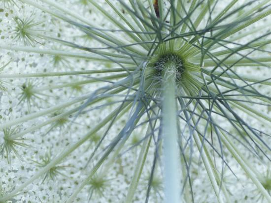adam-jones-queen-anne-s-lace-or-wild-carrot-flower-viewed-from-below-daucus-carota-north-america