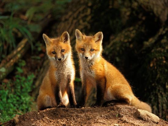 adam-jones-red-fox-near-den-entrance