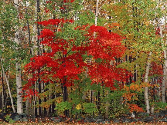 adam-jones-red-maple-and-white-birch-white-mountains-national-forest-new-hampshire-usa