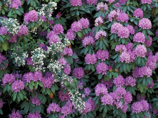 Image result for rosebay rhododendron