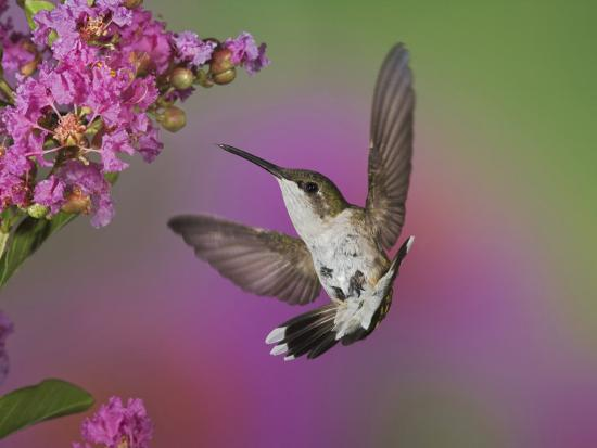 adam-jones-ruby-throated-hummingbird-kentucky-usa