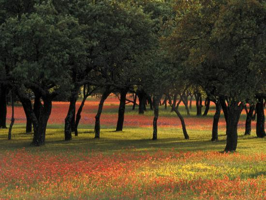 adam-jones-texas-paintbrush-and-bluebonnets-beneath-oak-trees-texas-hill-country
