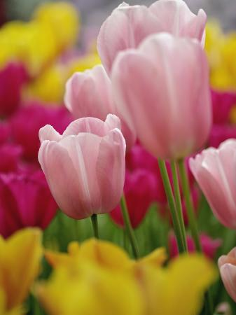 adam-jones-tulips