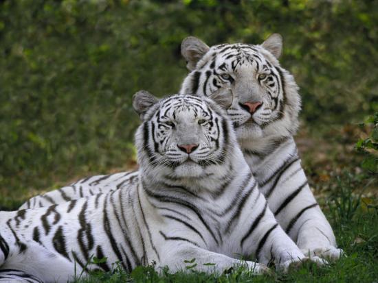 adam-jones-white-bengal-tigers-panthera-tigris-asia