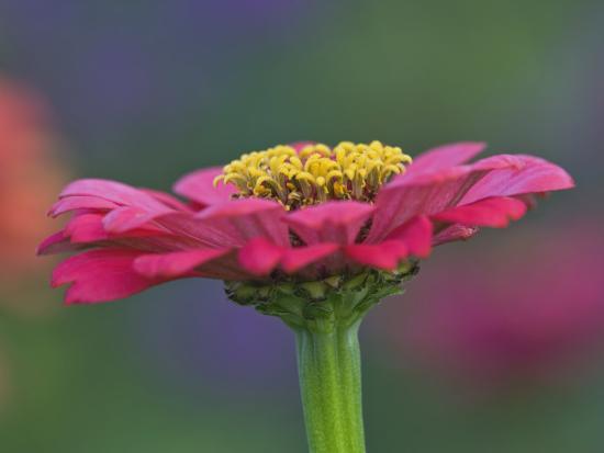 adam-jones-zinnia-flower-zinnia-elegans-maine