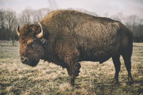 adam-mead-solitary-bison-iv