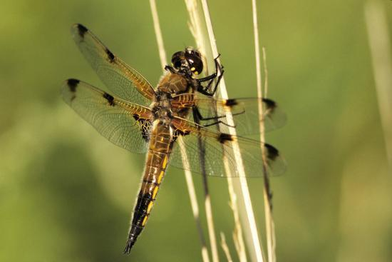 adrian-bicker-four-spotted-chaser-dragonfly