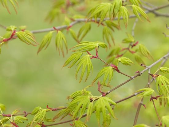adrian-bicker-japanese-maple-acer-palmatum