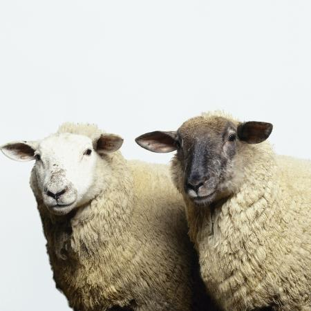adrian-burke-sheep-standing-side-by-side