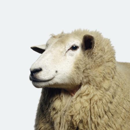 adrian-burke-wooly-sheep