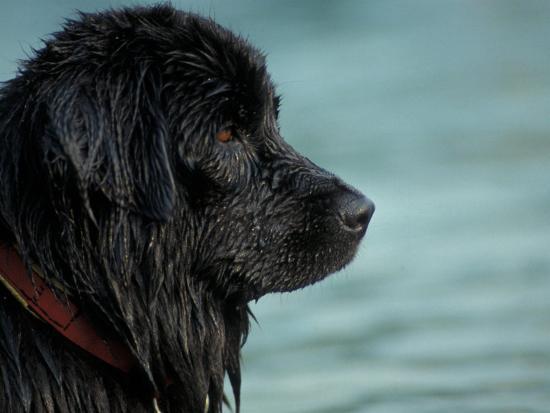 adriano-bacchella-black-newfoundland-dog-near-water