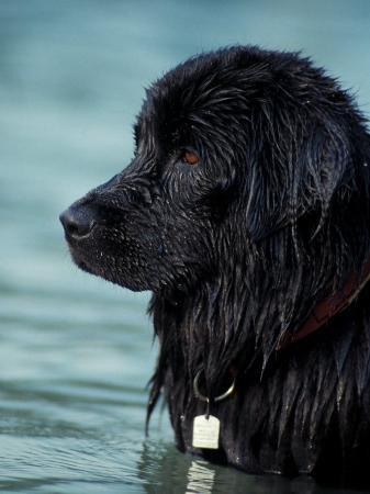 adriano-bacchella-black-newfoundland-standing-in-water