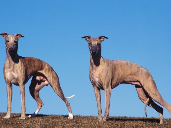adriano-bacchella-domestic-dogs-two-whippets-standing-together