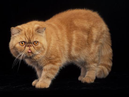 adriano-bacchella-exotic-red-cat-portrait
