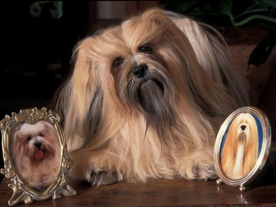adriano-bacchella-lhasa-apso-with-framed-pictures-of-other-lhasa-apsos
