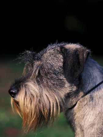 adriano-bacchella-miniature-schnauzer-profile