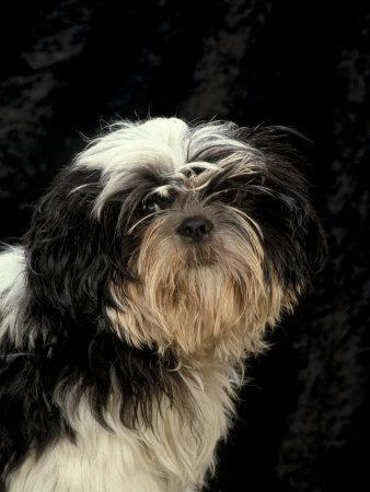Shih Tzu With Hair Cut Short Photographic Print By Adriano