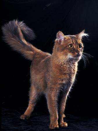 adriano-bacchella-somali-cat-standing-portrait