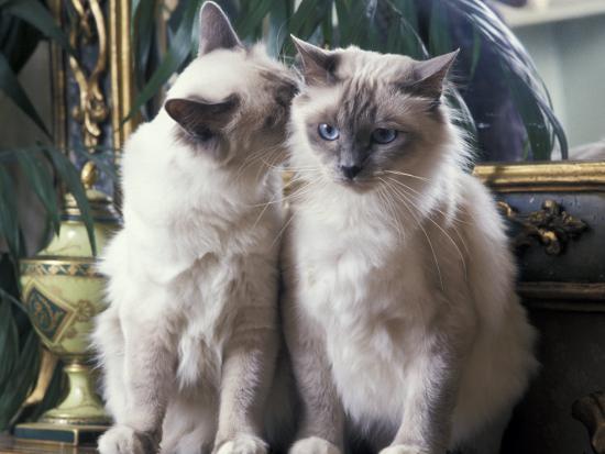 adriano-bacchella-two-birman-cats-sitting-on-furniture-interacting