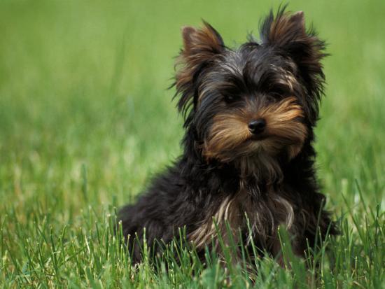 adriano-bacchella-yorkshire-terrier-puppy-sitting-in-grass