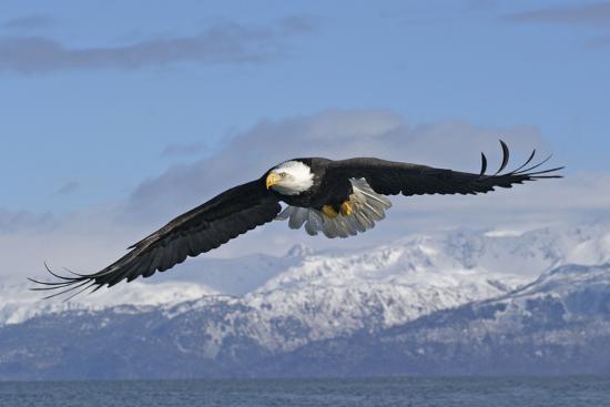 adult-bald-eagle-in-flight