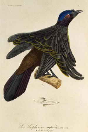 adult-male-of-superb-bird-of-paradise-lophorina-superba