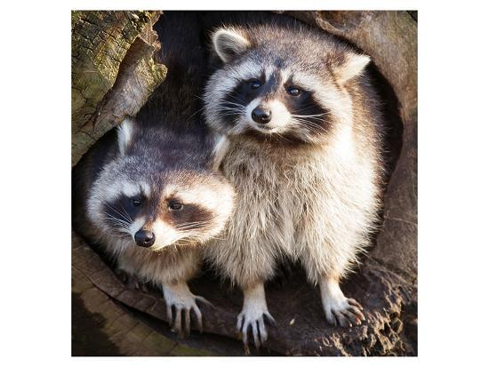 adult-raccoon-at-his-nest