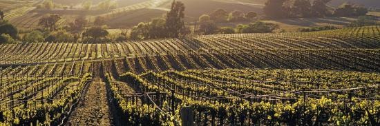 aerial-view-of-rows-crop-in-a-vineyard-careros-valley-california-usa