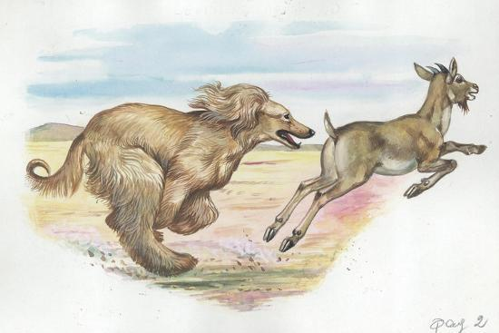 afghan-hound-canis-lupus-familiaris-chasing-goat