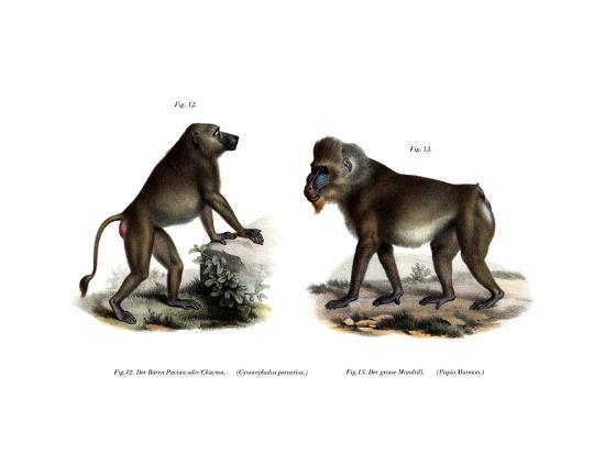 african-baboon-1860