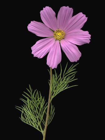 african-daisy