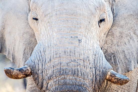 african-elephant-loxodonta-africana-etosha-national-park-namibia