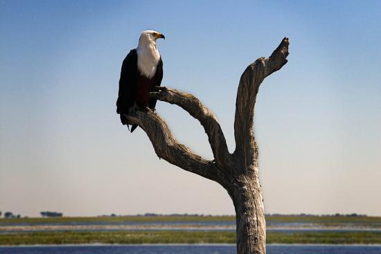 african-fish-eagle-haliaeetus-vocifer-in-chobe-national-park-botswana