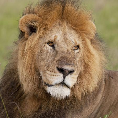 african-lion-male
