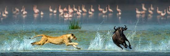 african-lioness-panthera-leo-hunting-wildebeests