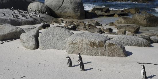 african-penguins-spheniscus-demersus-at-boulders-beach-simon-s-town