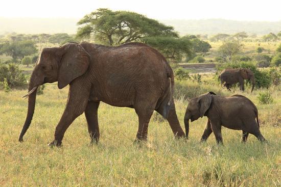 african-savanna-elephant-cow-with-calf