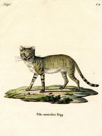 african-wild-cat